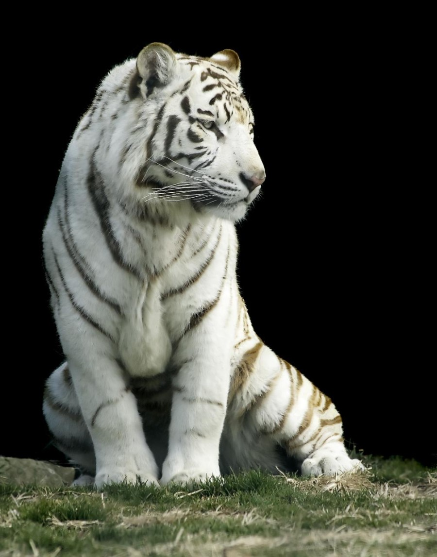 White_tiger-Gunma_Safari_Park