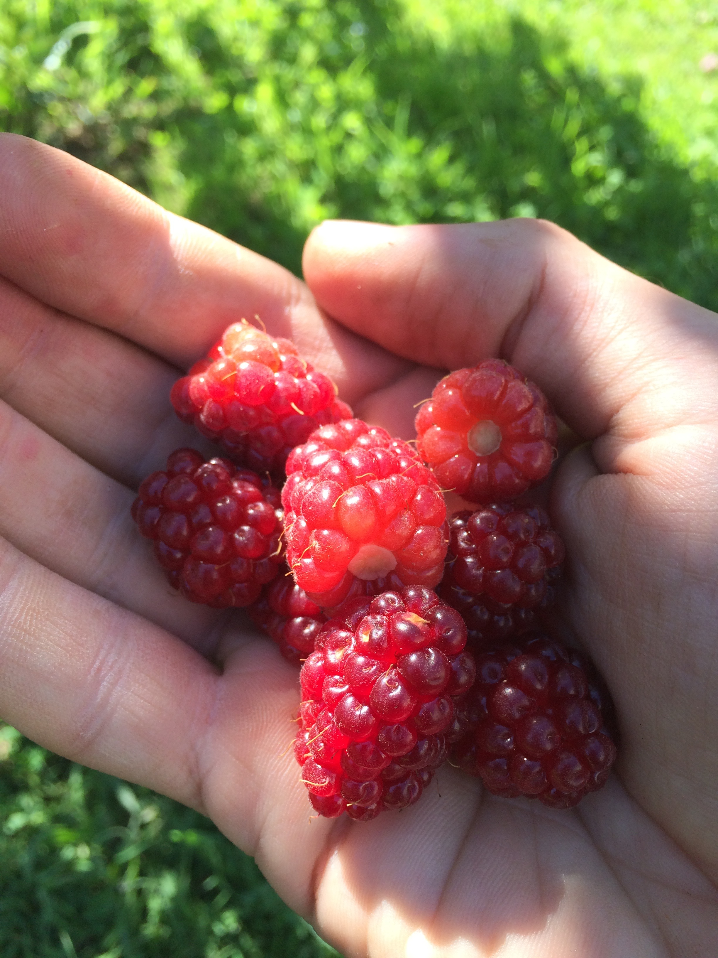 fresh boysenberries